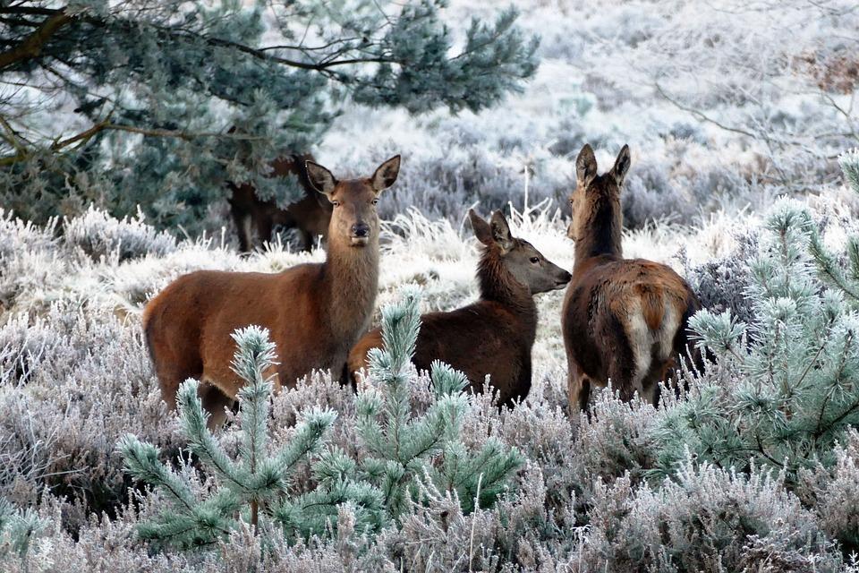 deer-1940368_960_720